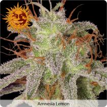 Barneys Farm Amnesia Lemon Feminizované 10 ks